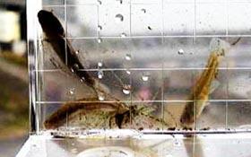 鶴見川中流のテナガエビ