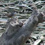 鶴見川に飛来したオガワコマドリ