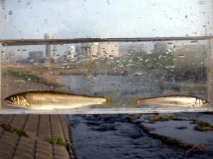 鶴見川中流 亀の甲橋のアユ(2010年3月13日撮影)