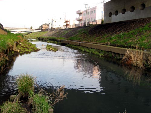 マルタウグイの遡上が確認された早渕川 当日の川の様子