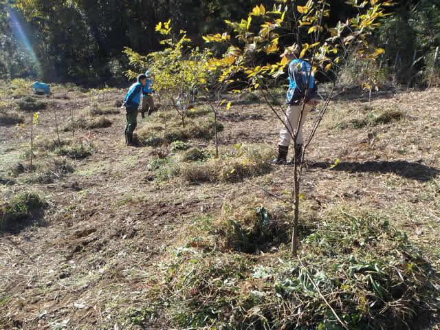 除去したツル草はエノキのお布団に。国蝶オオムラサキやゴマダラチョウ幼虫の越冬場所に仕立てます。